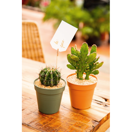 Combo 18 Cactus sencillo