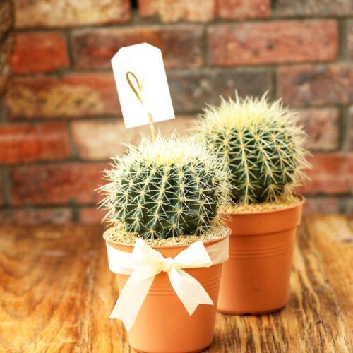 Combo Cactus bolita Growpot