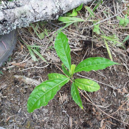 Adopta un Árbol, Vivero Tierranegra, Medellín, Colombia