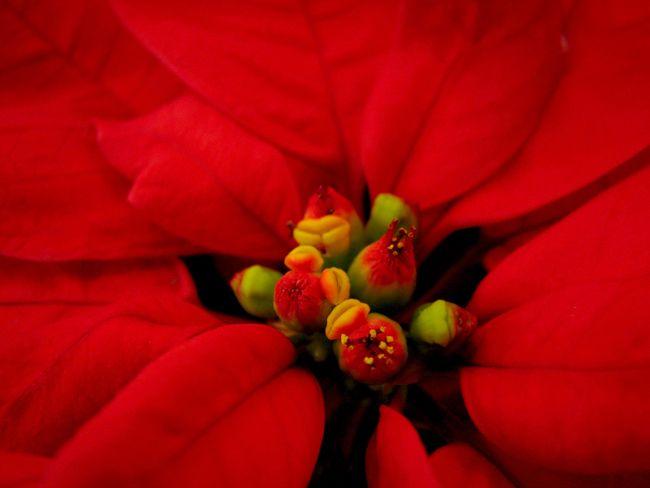 Poinsettia: la hermosa Flor de la Navidad, Vivero Tierranegra, Medellín, Colombia